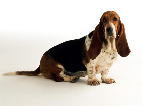 Basset Hound Breed
