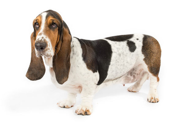 Basset-Hound breed