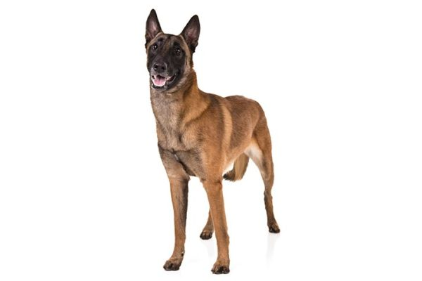 Belgian Malinois breed