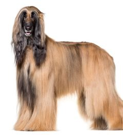 Afghan Hound Breed, Afghan hound dog breed