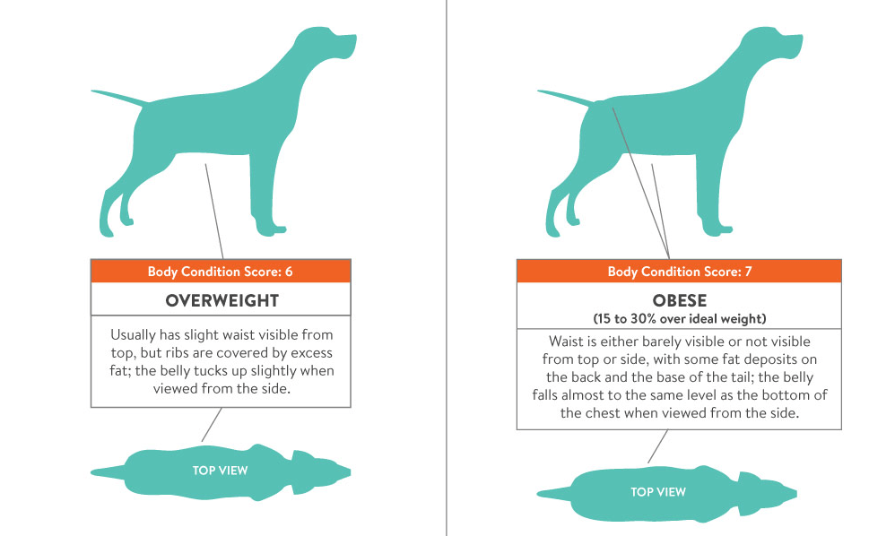 Obesity In Dogs Overweight In Dogs Weight Loss For Obese Dogs India