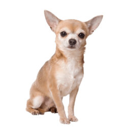 Chihuahua dogs, Chihuahua dogs information