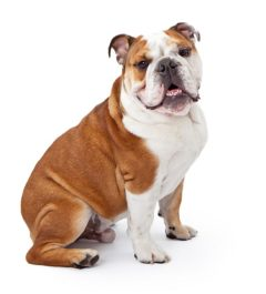 English Bulldog, English Bulldog information, English Bulldog information in India