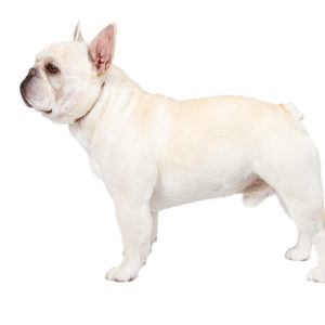 French BullDog, French BullDog information