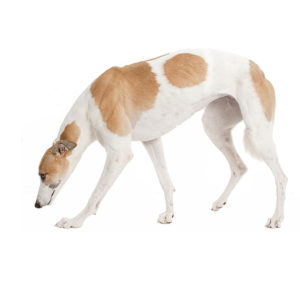 Greyhound Dog, Greyhound Dog information