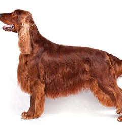 Irish-Setter Dogs, Irish-Setter Dogs information in India