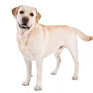 Labrador-Retriever dogs information