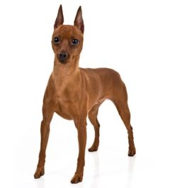 Miniature-Pinscher dogs information