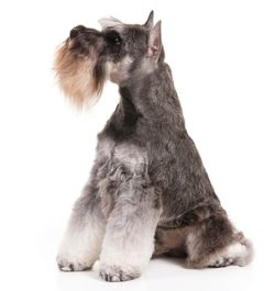 Miniature-Schnauzer Dogs information