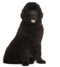Newfoundland Dogs information