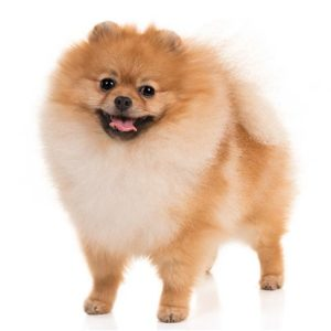 Pomeranian dogs information