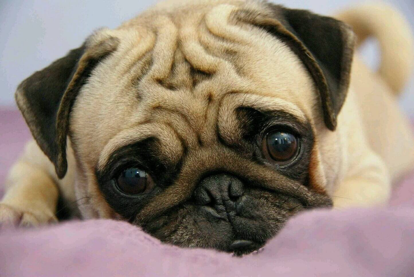 Pug Dog images, Pug Dog information, Pug Image in India