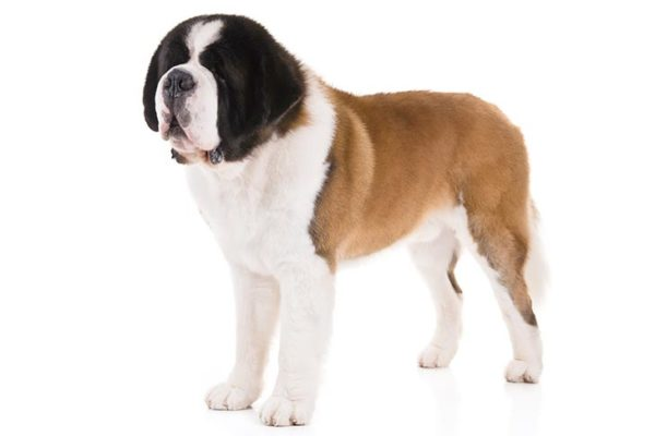 Saint-Bernard, Saint-Bernard dogs, Saint-Bernard dogs information in India