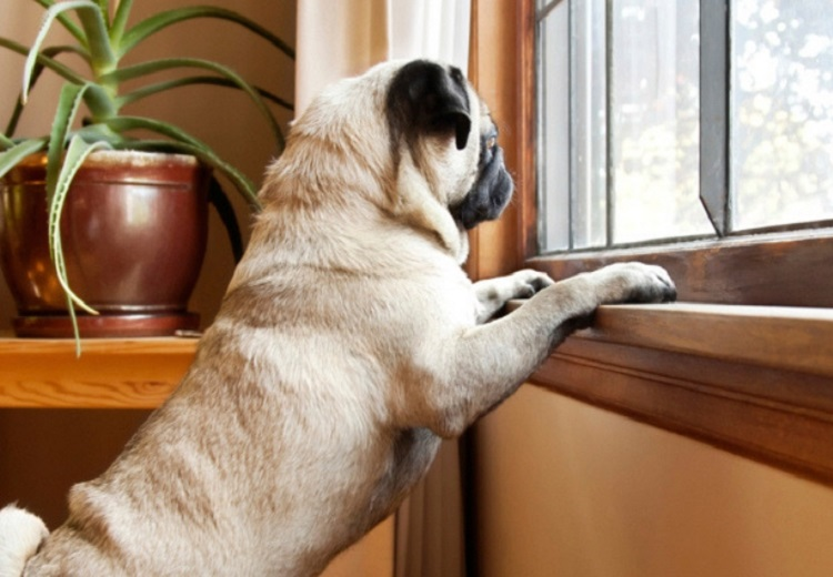 Dogs Separation Anxiety, Dogs Separation Anxiety behavior in India