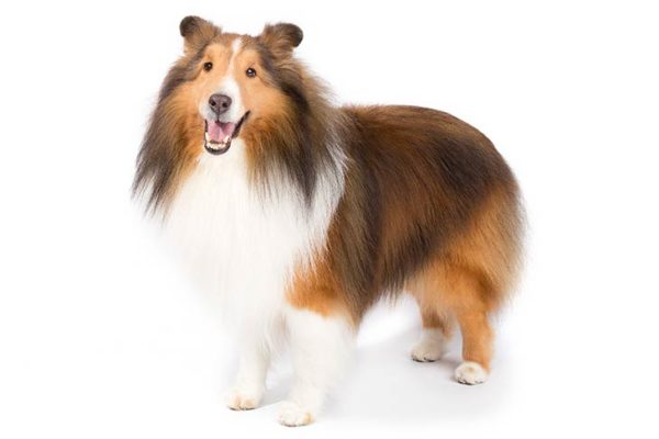 Shetland-Sheepdog, Shetland-Sheepdog Dogs, Shetland-Sheepdog Dogs information in india