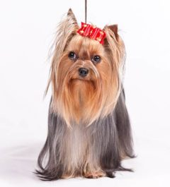Yorkshire-Terrier, Yorkshire-Terrier Dogs, Yorkshire-Terrier Dogs information