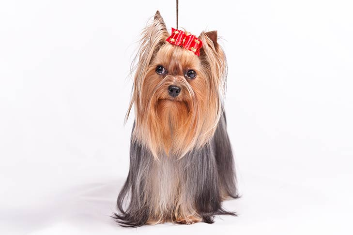 Yorkshire Terrier Dog Yorkshire Terrier Puppy In India Yorkshire