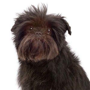 Affenpinscher breed