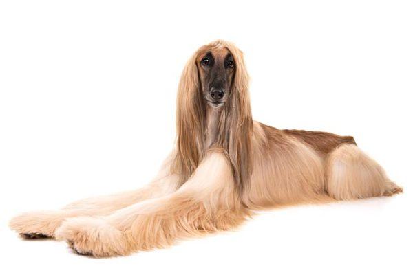 Afghan-Hound breed, Afghan hound Pet breed