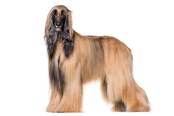 Afghan Hound Breed, Afghan hound dog breed