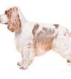 Cocker Spaniel English dog, Cocker Spaniel English dog infomation