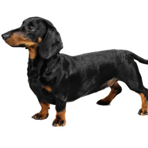 Dachshund dogs, Dachshund dogs information