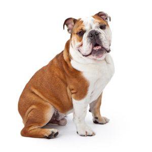 English Bulldog, English Bulldog information, English Bulldog information in India