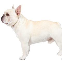 French BullDog, French BullDog information