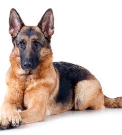 German-Shepherd