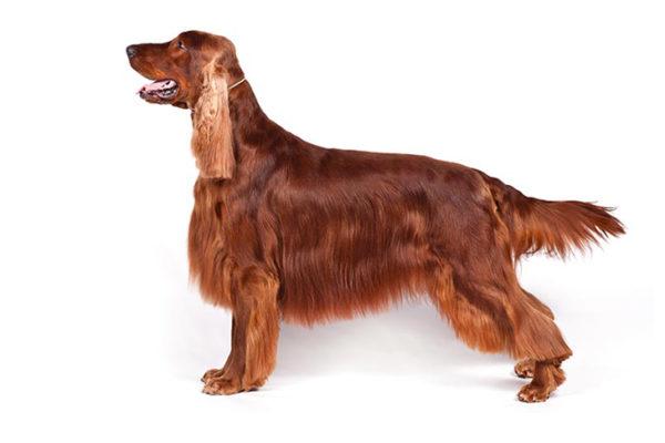 Irish-Setter Dogs, Irish-Setter Dogs information in India