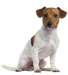 Jack-russell Dogs information in india