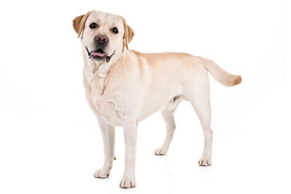 Labrador-Retriever dogs information