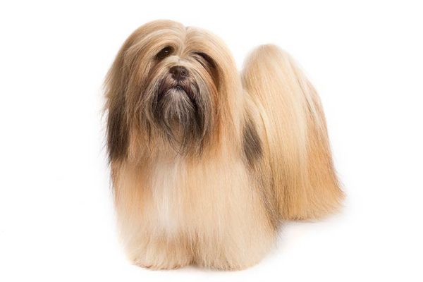 Lhasa-Apso dogs information