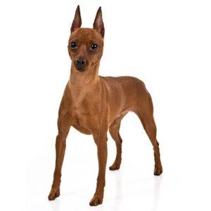 Miniature-Pinscher dogs information