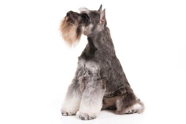 Miniature-Schnauzer Dogs information