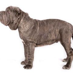 Neapolitan-Mastiff dogs