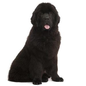 Newfoundland Dogs information