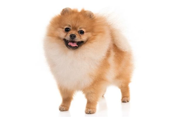 Pomeranian dogs information