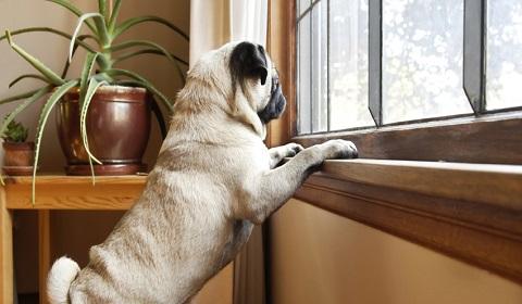 Dogs Separation Anxiety, Dogs Separation Anxiety behavior in India