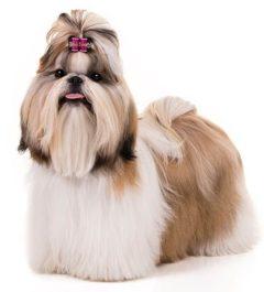 Shih-Tzu, Shih-Tzu Dogs, Shih-Tzu dogs information in india