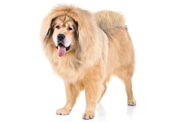 Tibetan-Mastiff, Tibetan-Mastiff Dogs, Tibetan-Mastiff Dogs information in India
