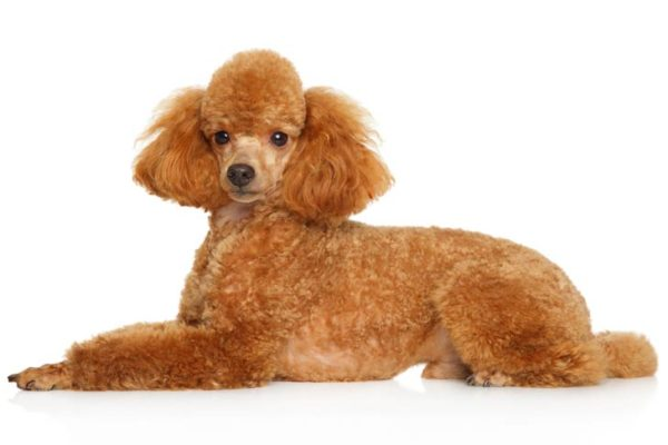 Toy-Poodle dogs