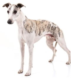 Whippet, Whippet Dogs, Whippet dogs information