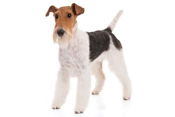 Wire-Fox-Terrier