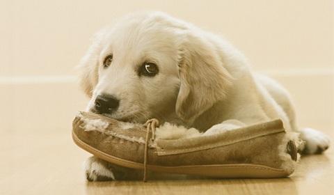 Dog chewing, Dog chewing behavior, Dog chewing Behavior in india