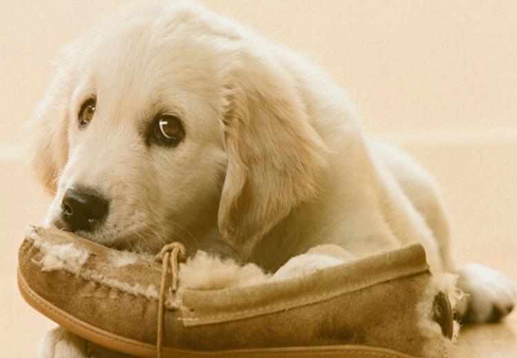 Dog chewing, Dog chewing behavior, Dog chewing Behavior in i