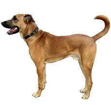 kombai dogs informtion in india
